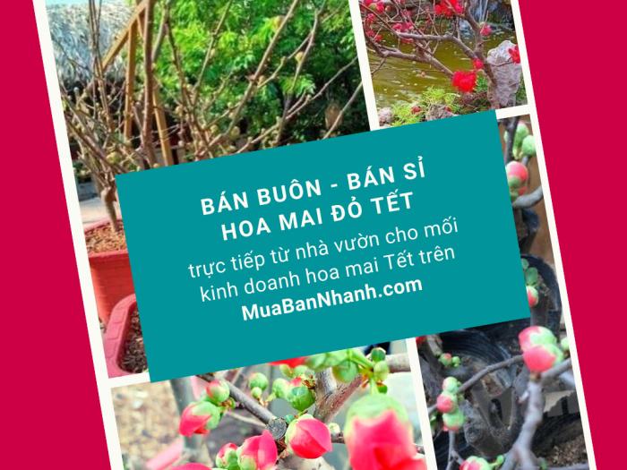 Bán buôn hoa mai đỏ, cây mai đỏ giá sỉ TPHCM trực tiếp từ nhà vườn cho mối kinh doanh hoa mai Tết trên MuaBanNhanh - cover